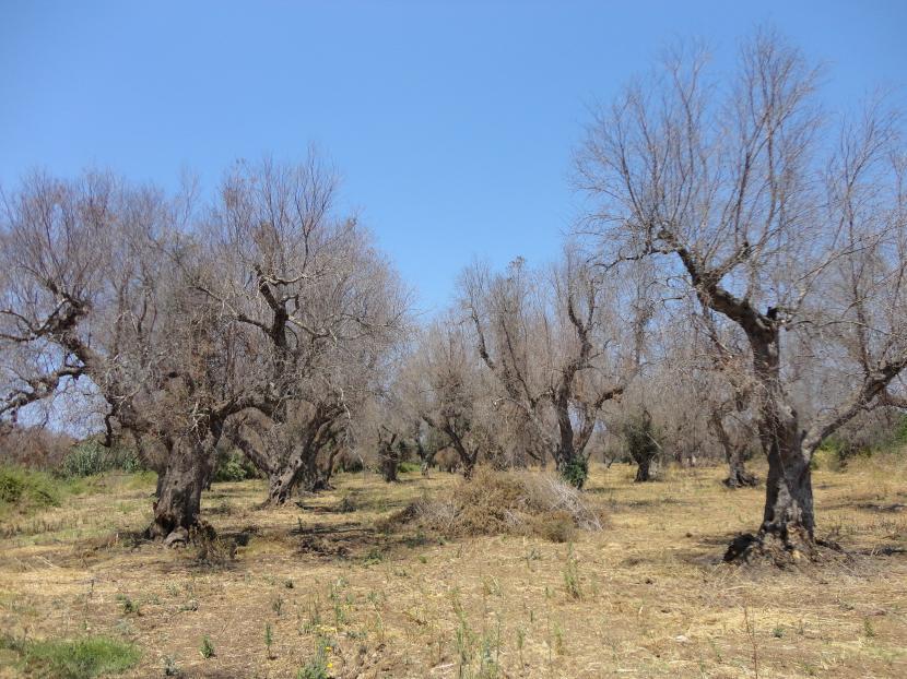 árboles deteriorados ébola del olivo