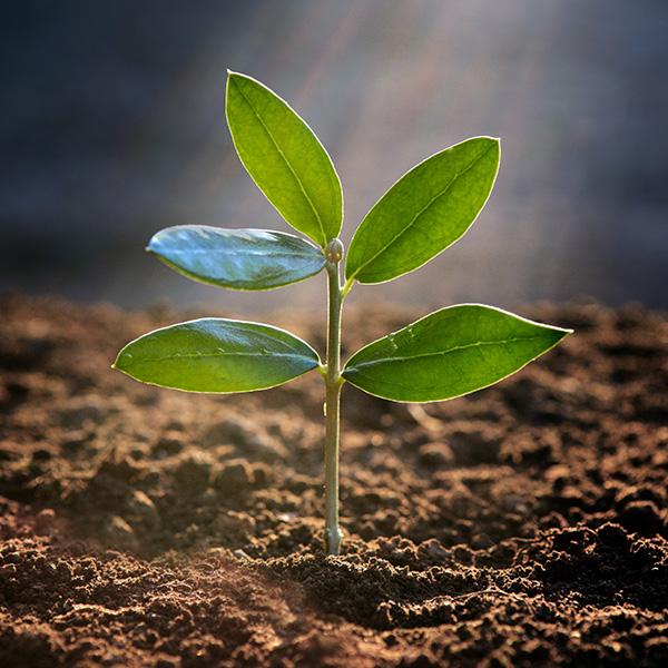 fertilización para el abonado del olivo