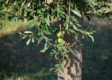 olivo en secano fruto