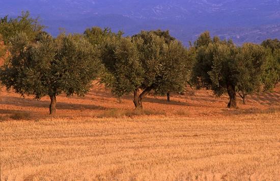 abono para el cultivo del olivo técnica en secano