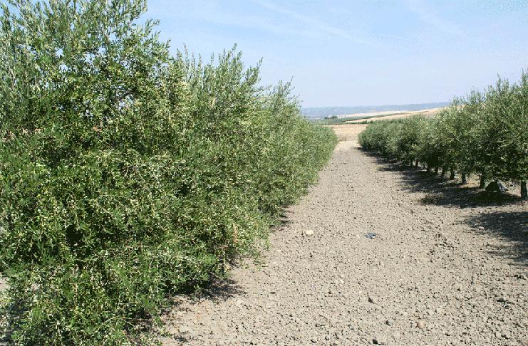 olivo en secano abonado