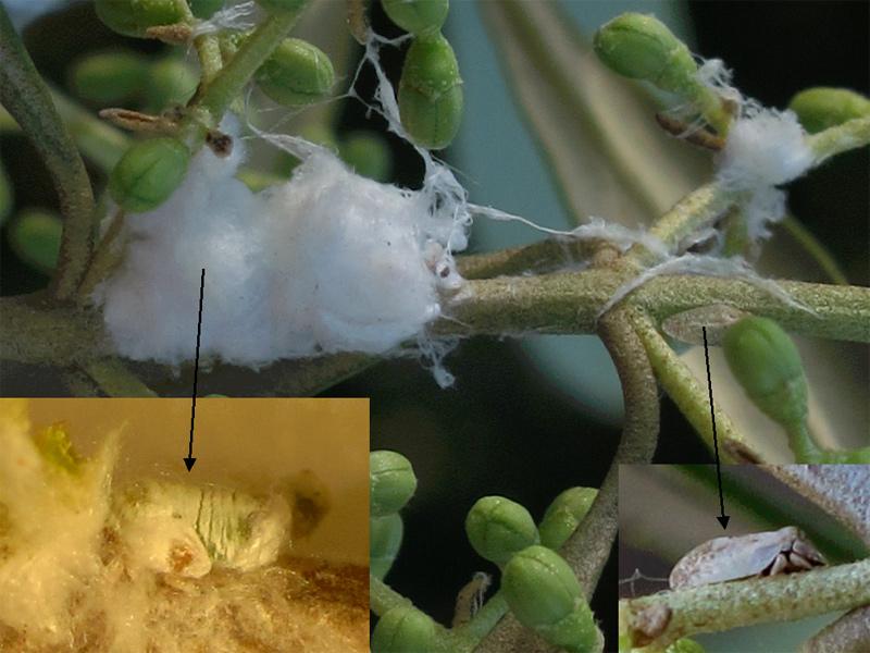 evolución de la euphyllura olivina