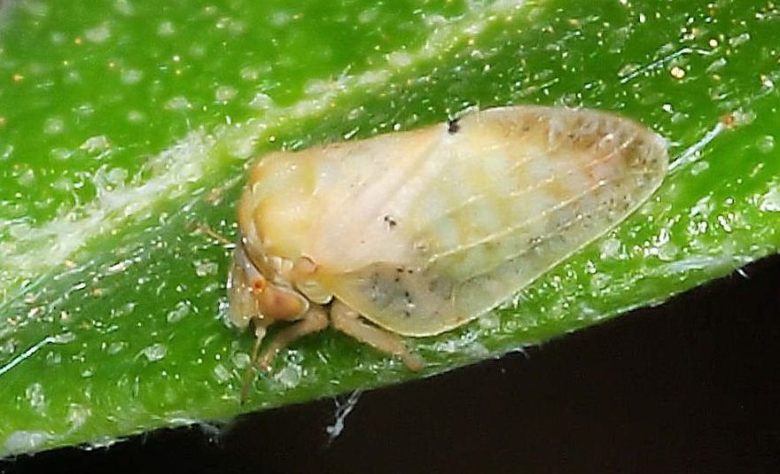 insecto euphyllura olivina algodoncillo del olivo