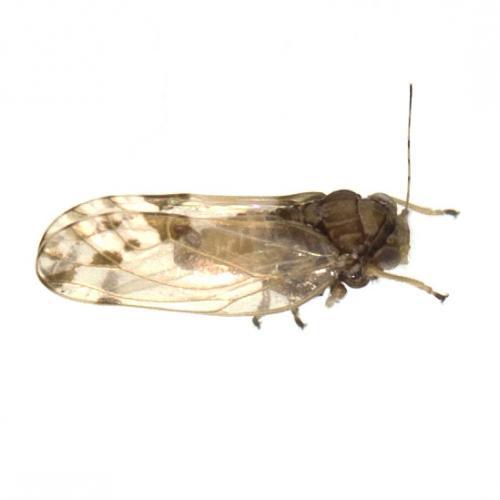 euphyllura olivina insecto del algodoncillo