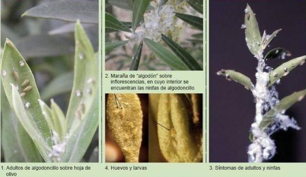fases del algodoncillo del olivo