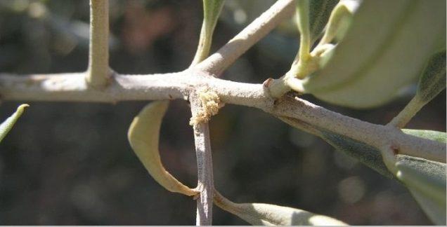barrenillo del olivo phloeotribus scarabaeoides