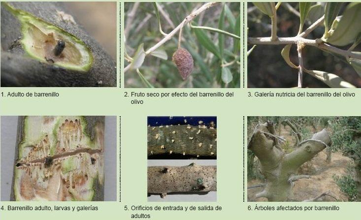 ciclo barrenillo del olivo