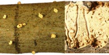 daños producidos por el barrenillo del olivo