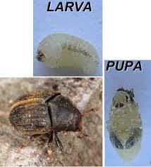 evolución del barrenillo del olivo