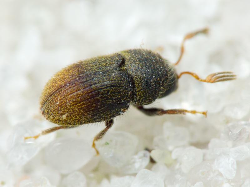 insecto generador del barrenillo de olivo