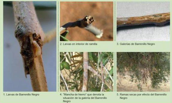 fases del barrenillo negro del olivo