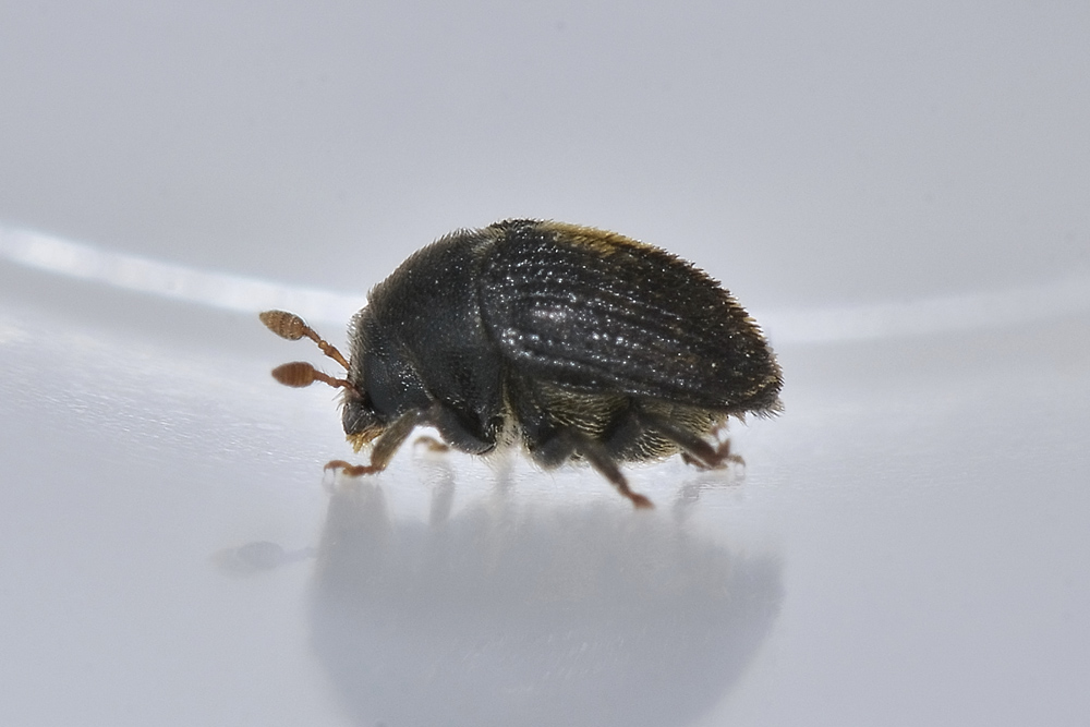 hylesinus oleiperda barrenillo negro del olivo