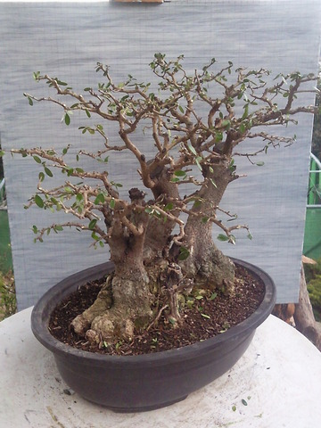 bonsái olivo silvestre