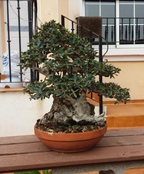 bonsái de olivo silvestre acebuche