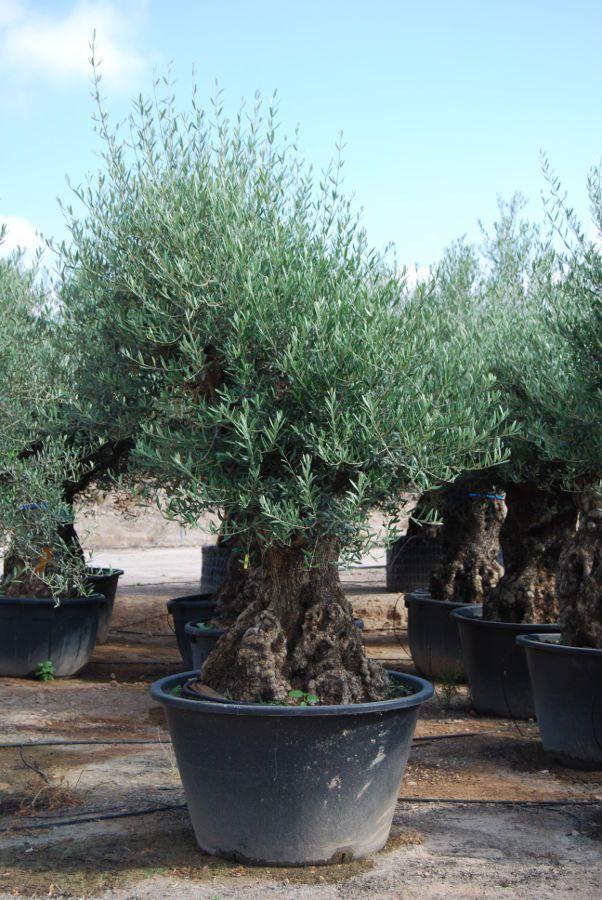 bonsái grande de olivo