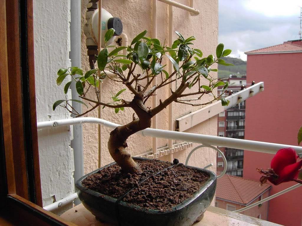 bonsái de olivo en tu vivienda