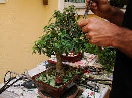 cortar ramas bonsái olivo