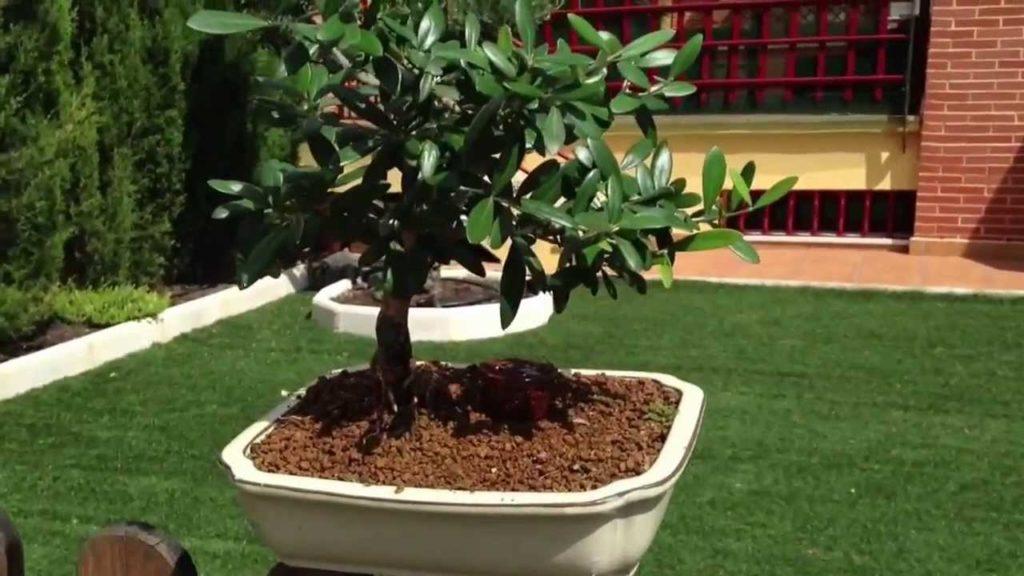 proteger bonsái olivo del sol