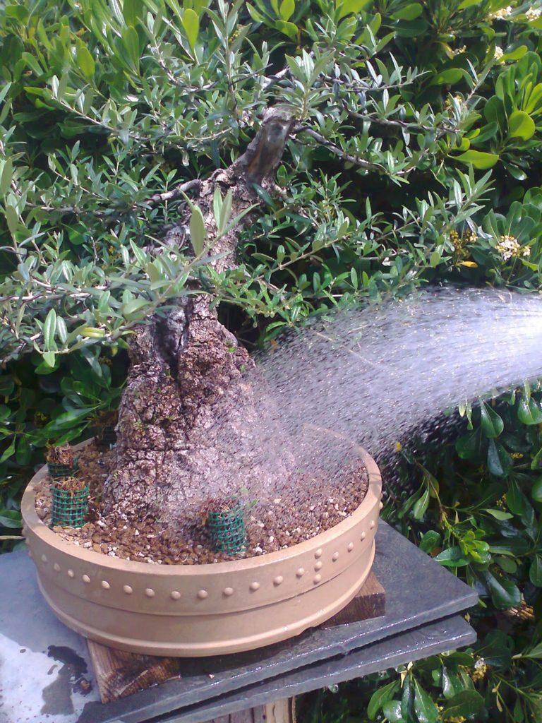 riego al bonsái de olivo