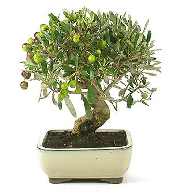 árbol de olivo en bonsái