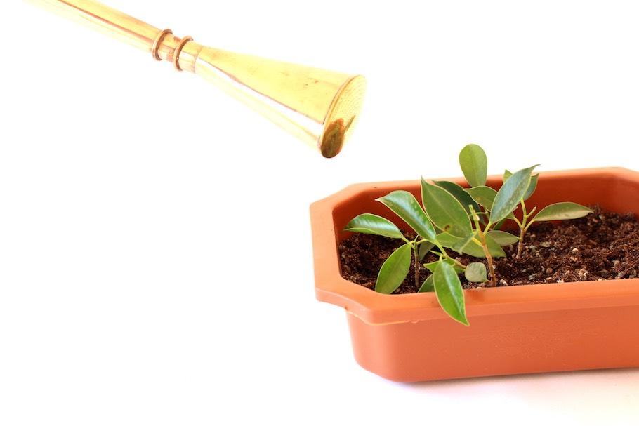 riego a planta de olivo en maceta
