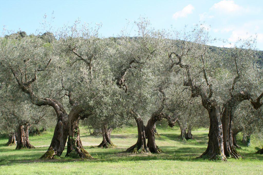 árbol de olivo cuidados