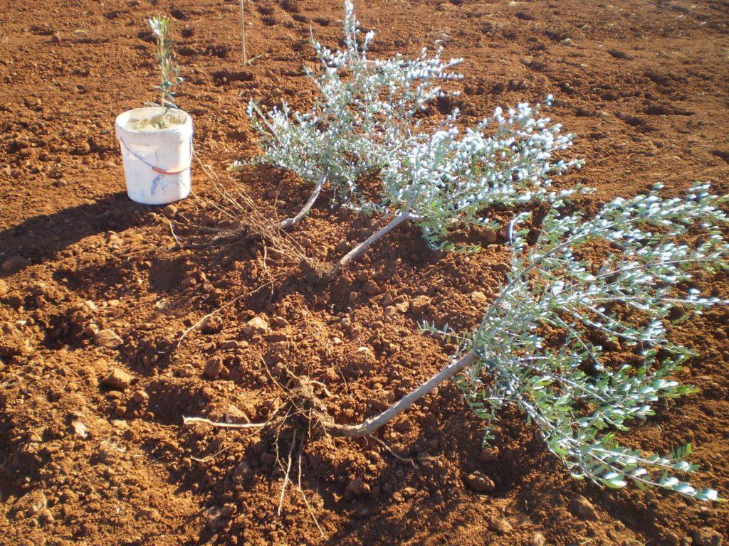 cultiva tus mismos olivos