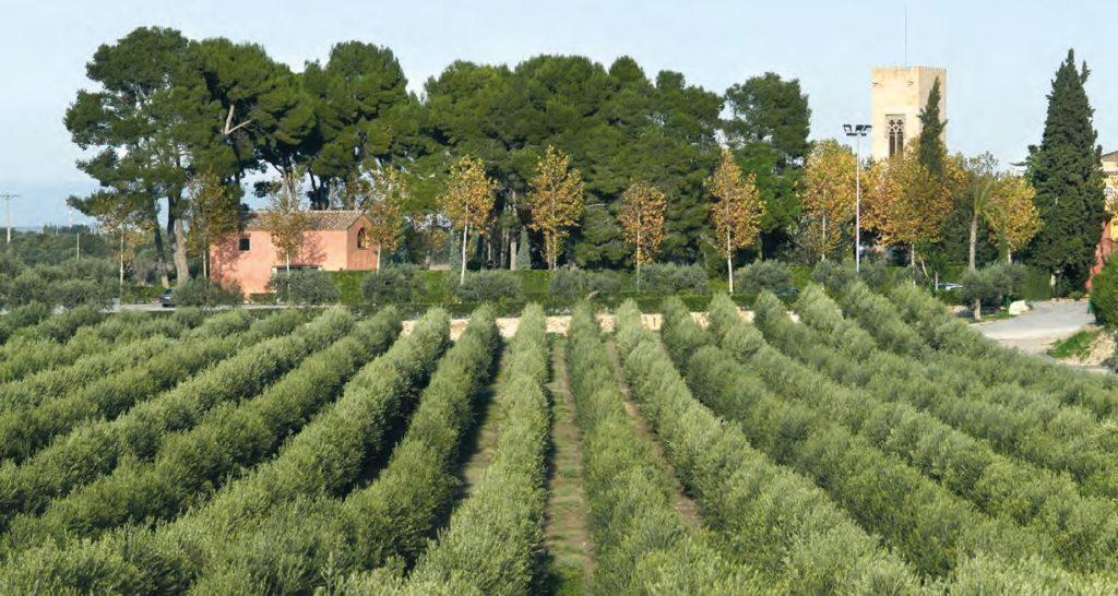 cultivo de la olea europaea a través del secano