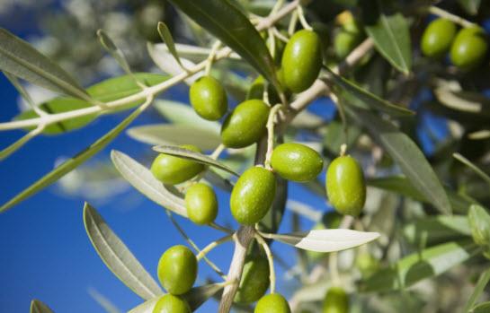 producción de aceitunas tras cultivo del olivo