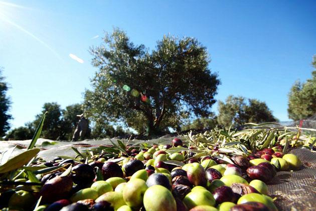 cultivo del olivo recolección de aceitunas cosecha