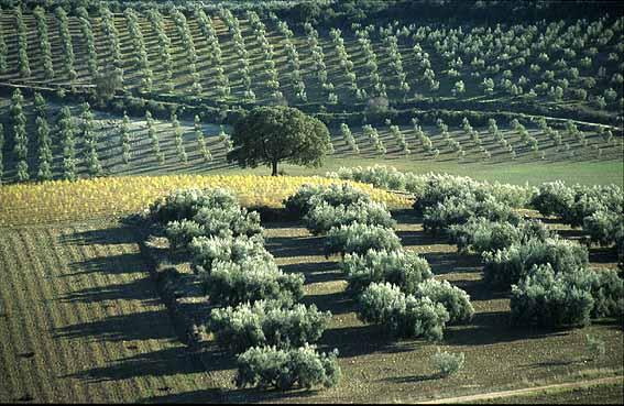 cultivo del árbol de olivo