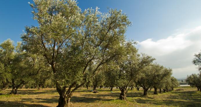 enfermedades que padece el árbol de olivo