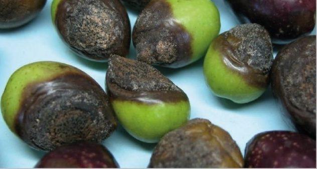 antracnosis o aceituna jabonosa del olivo