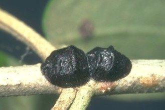 saissetia oleae cochinilla del olivo
