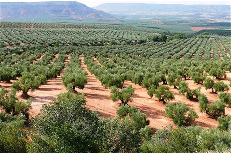 enfermedades del olivo ocasionan daños a sus cultivos