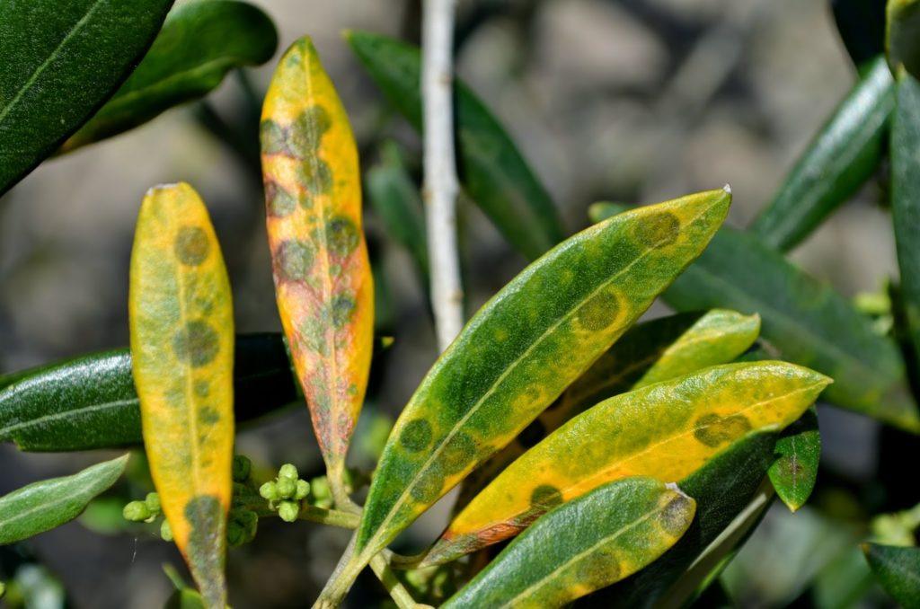 hojas afectadas por el repilo del olivo