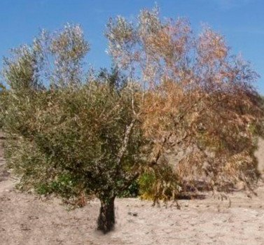verticilosis o seca del olivo