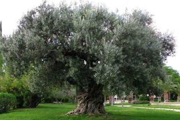 esquejes para el árbol de olivo