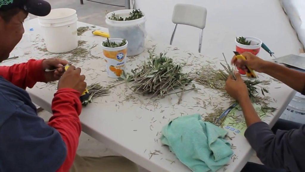 preparación de los esquejes del olivo