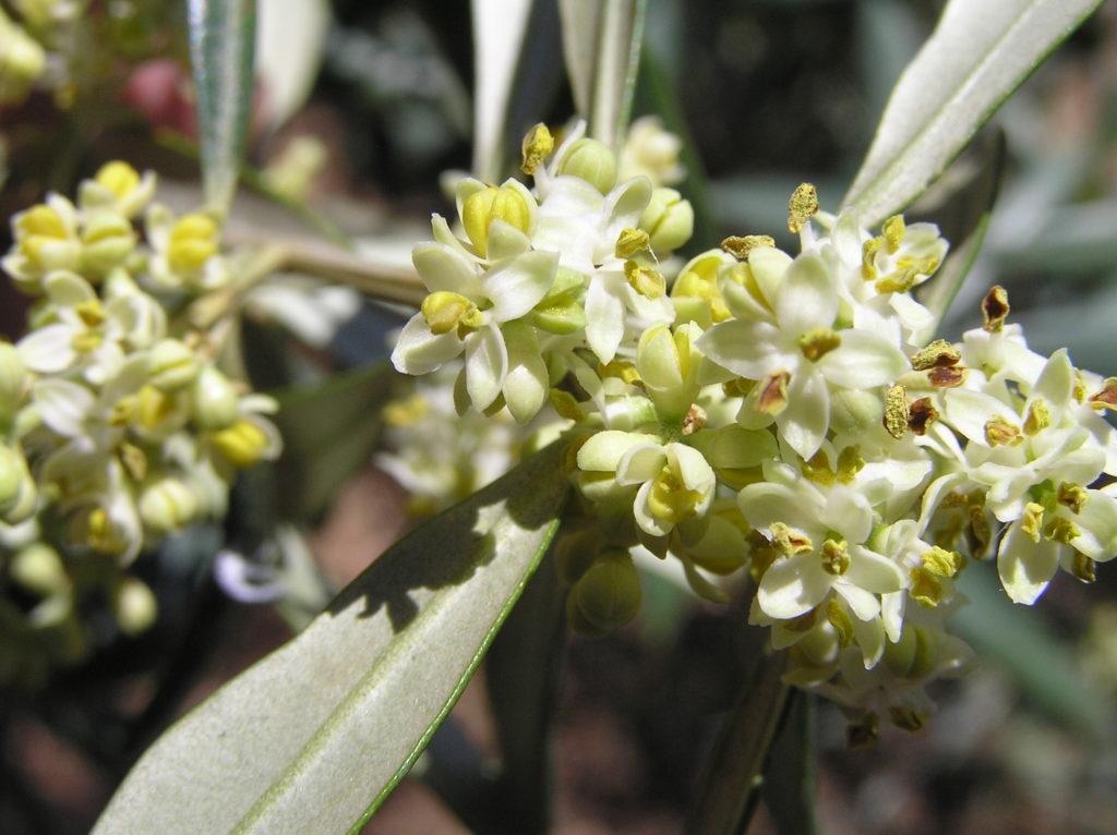 rapa flor del olivo