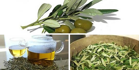 preparación de infusión a base de hojas de olivo