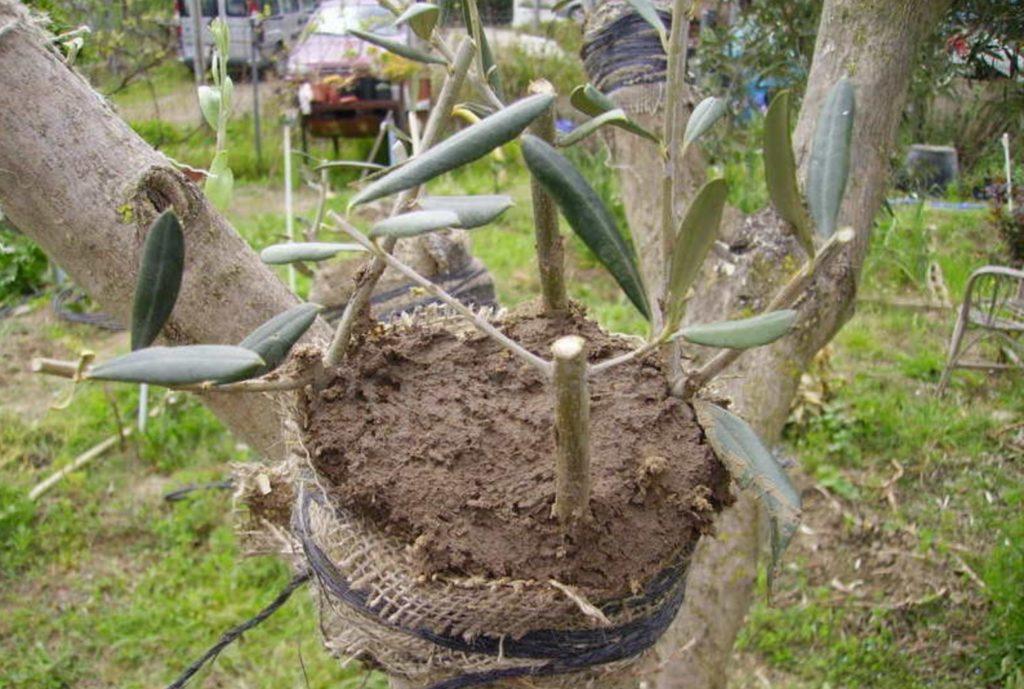 injerto natural al árbol de olivo