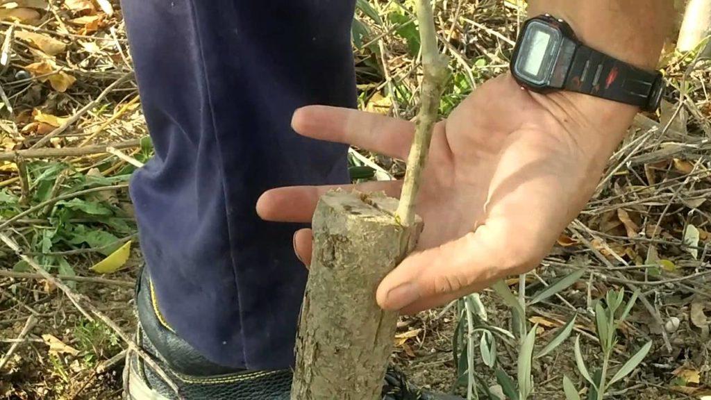 injerto tipo pua a un olivo