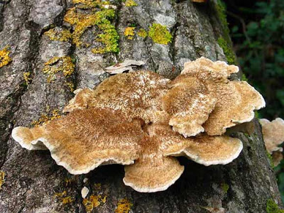 hongos en tronco de olivo para madera