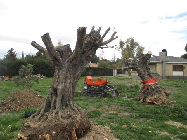 tala de árboles de olivo