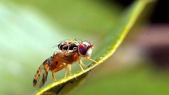 etapa adulta mosca del olivo