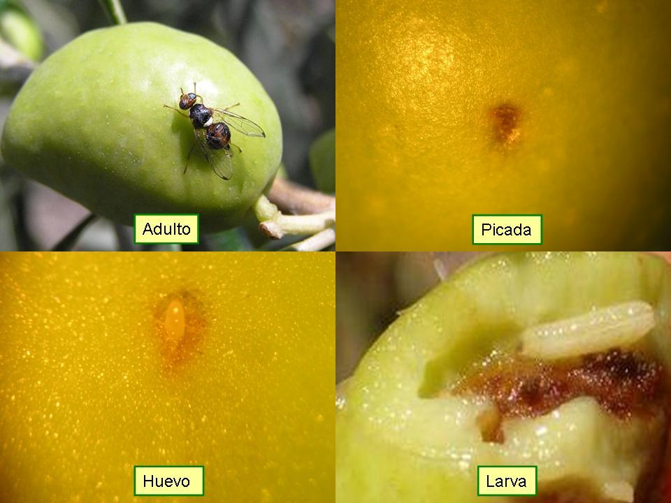 ciclo biológico de la mosca del olivo