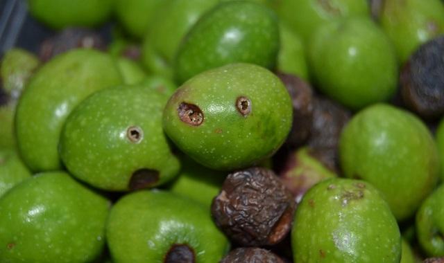 aceitunas afectadas por picada de la mosca del olivo