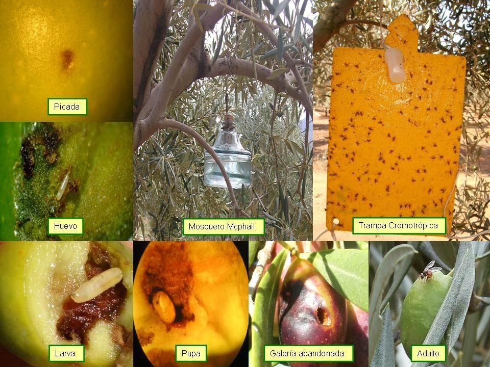 ciclo de la mosca del olivo y trampas