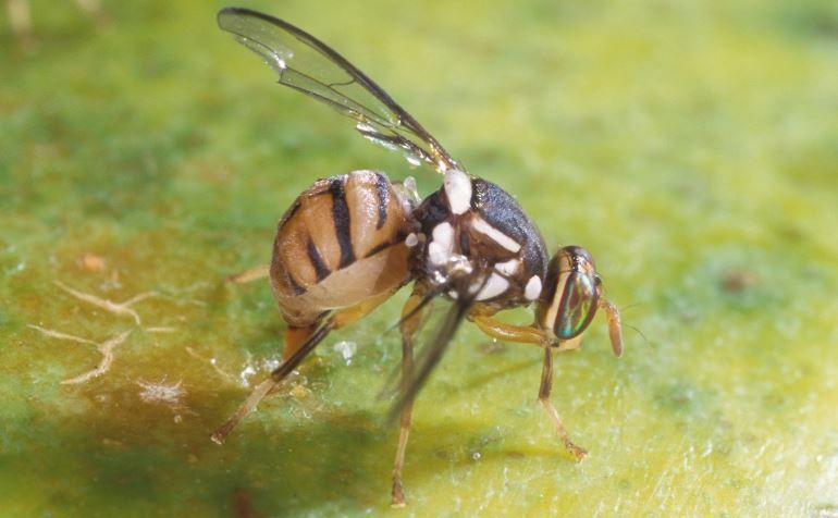apariencia de la mosca del olivo